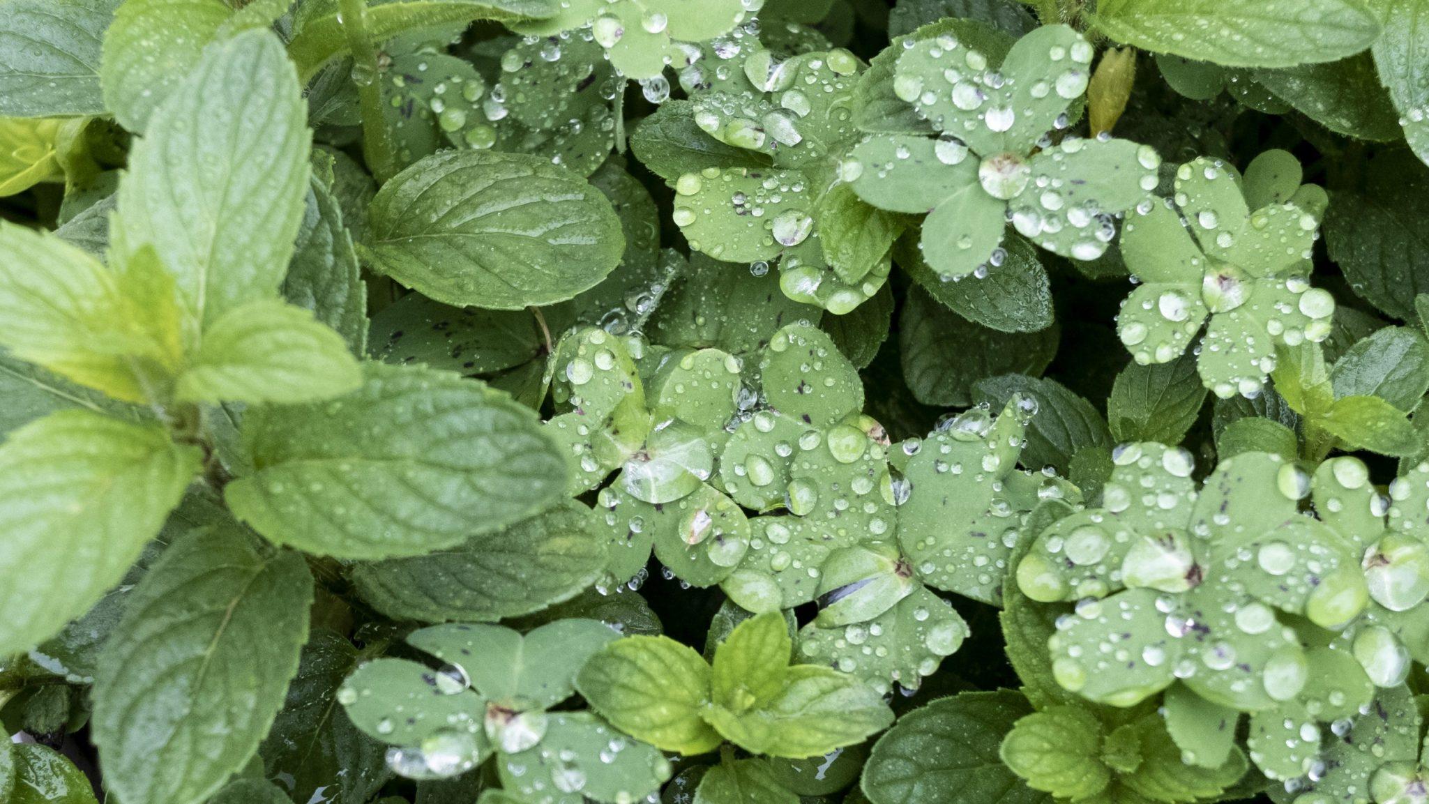 Hierba agret tras una lluvia