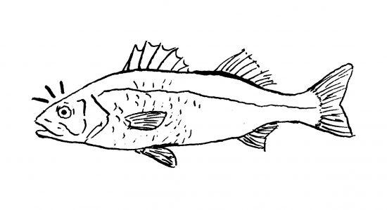 Dibujo en tinta sobre papel de una lubina (Dicentrarchus labrax), pez del mediterrano