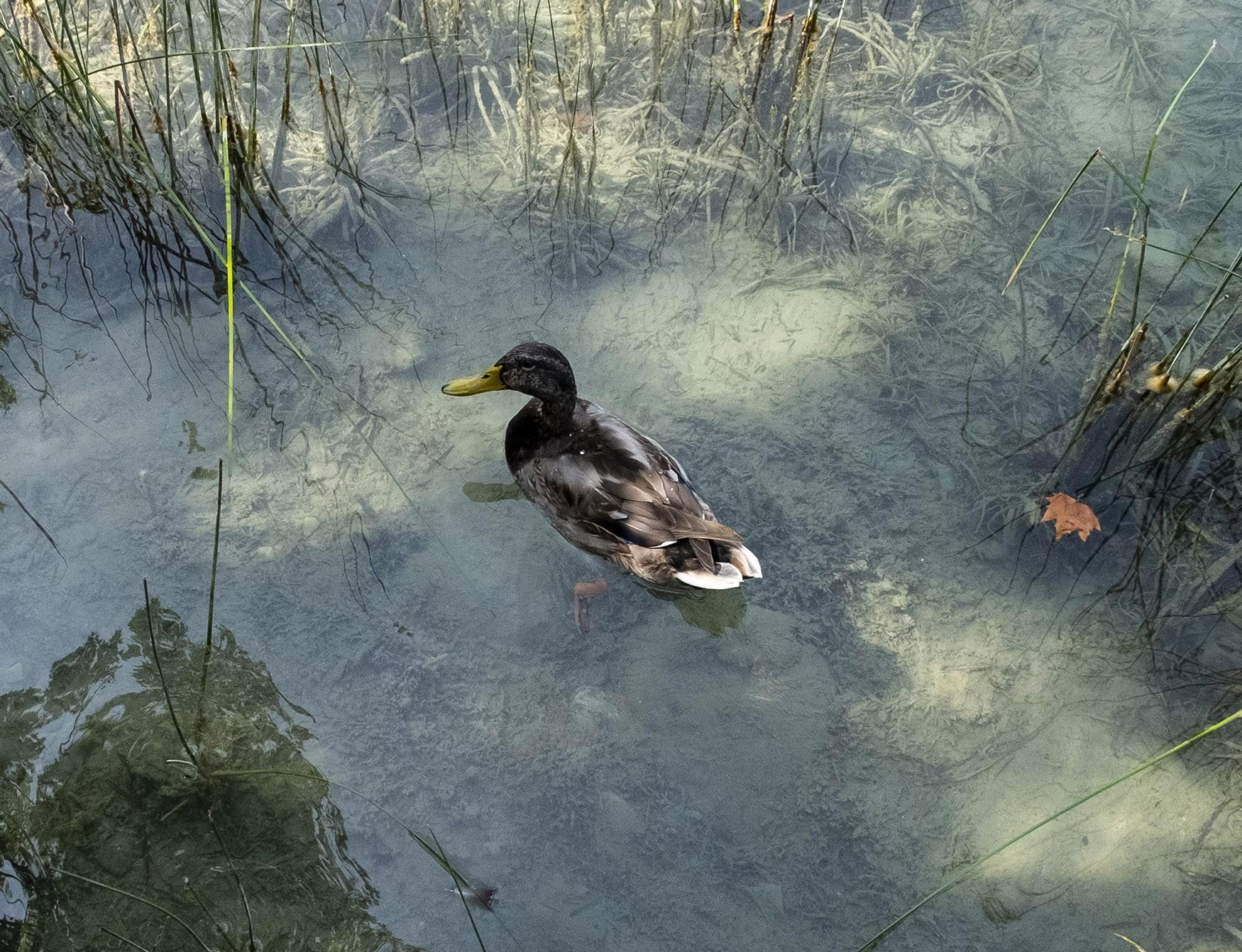 Fotografía de un pato en el estanque de Banyoles, Cataluña